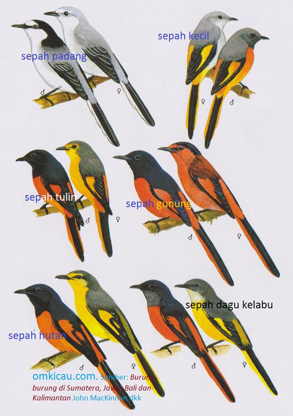 Gambar beberapa macam burung sepah