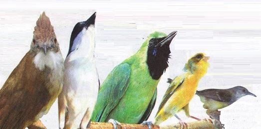 Trend burung kicauan 2012-