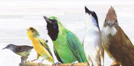 Trend burung kicauan 2012
