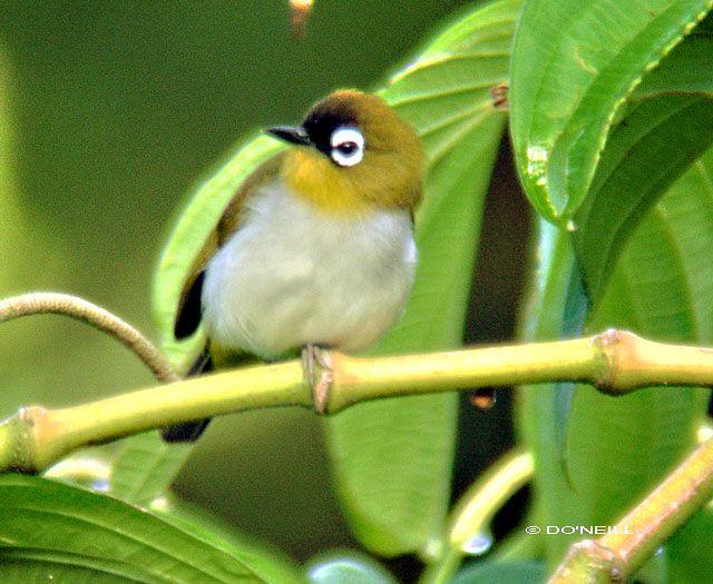 Burung pleci atau Kacamata dahi-hitam, Zosterops atrifrons - manado