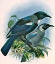 Burung tui jantan dan betina
