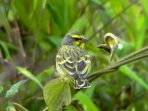 Wallpaper, gambar, foto, lukisan burung kenari (picture, painting and photo canary) (49)