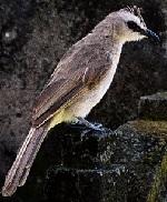 Yellow-vented-Bulbul atau trucukan atau merbah atau cucak jawa