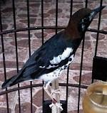 burung anis kembang Om Heri