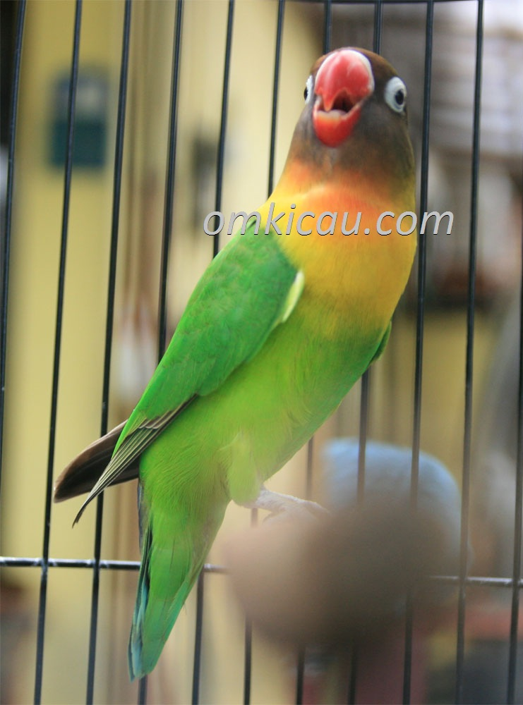 Tips pemasteran agar burung lovebird bersuara panjang