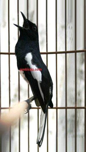 Burung Kacer jagoan Sragen
