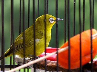 burung kecial lombok