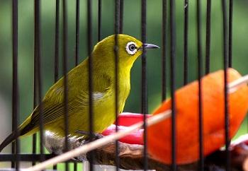 Burung Kecial atau Pleci- Burung yang banyak dijual di Pasar Burung Sindu Matatam