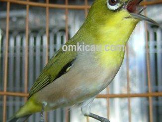 gambar burung pleci burung kacamata