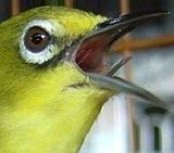 ikon gambar burung pleci burung kacamata