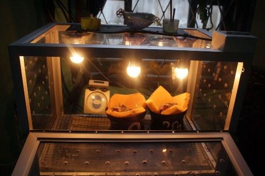 Anakan dirawat di inkubator bersuhu 32 derajat