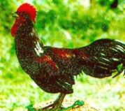 ayam bekisar