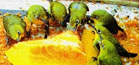 Burung kecial atau pleci Lombok
