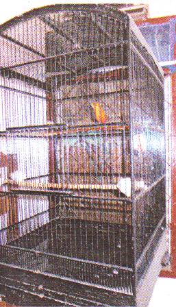 Pengumbaran burung anis merah cukup di kandang besar tanpa perlu digebrak-gebrak