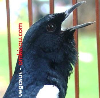 Burung Kacer Vegasus