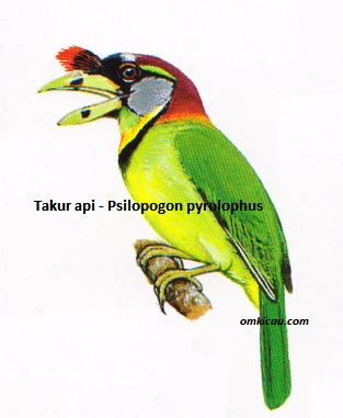 Burung Takur Api - Psilopogon pyrolophus