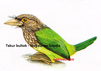 Burung Takur Bultok - Megalaima lineata