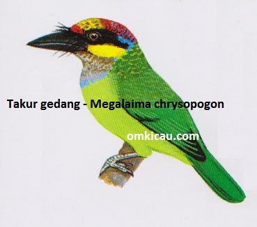 Burung Takur Gedang - Megalaima chrysopogon