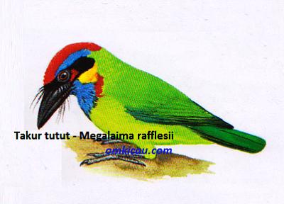 Burung Takur Tutut - Megalaima rafflesii