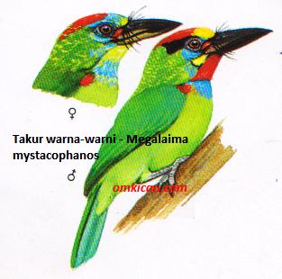 Burung Takur warna-warni - Megalaima mystacophanos