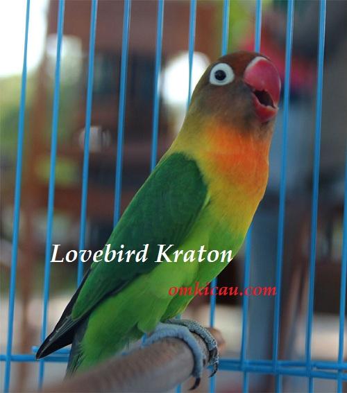LOVE BIRD KRATON - Pindah Tangan