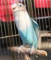 Lovebird Atika ikon