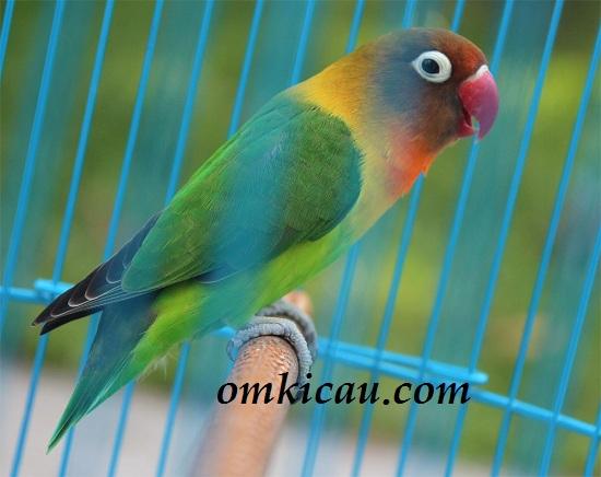 LOVEBIRD KRATON - MILIK PAK KANJENG