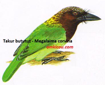 Takur bututut - Megalaima corvina