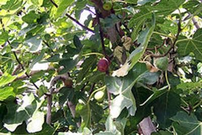 Buah tin - Ficus Carica L atau ara sangat disukai banyak jenis burung