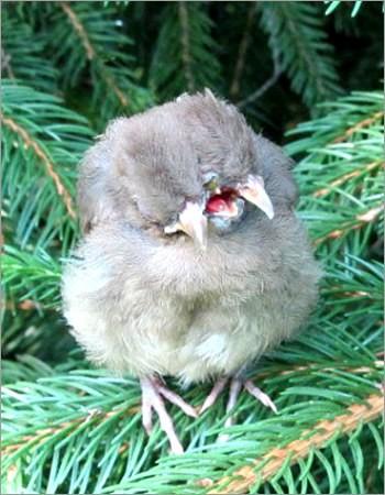 Burung berkepala dua dengan tiga paruh