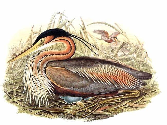 Burung cangak merah atau Ardea purpurea