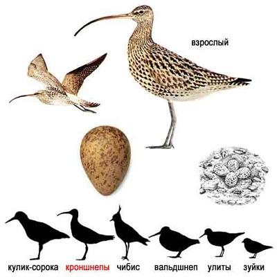 Burung gajahan besar atau numenius arquata
