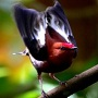 Burung manakin jantan berkicau dengan menggetarkan sayap (1)