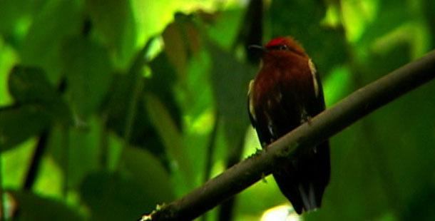 Burung manakin jantan berkicau dengan menggetarkan sayap (3)