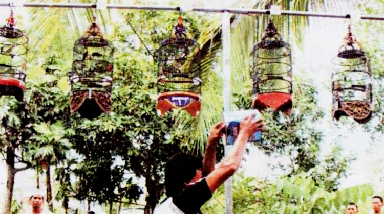 Cara menggantang burung pleci ala grongsengan
