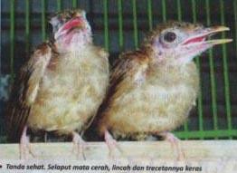 Burung Cucak Jenggot 10 Bulan Diharga Rp 10 Juta Om Kicau