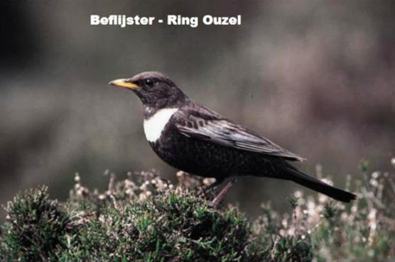 Beflijster - Ring Ouzel