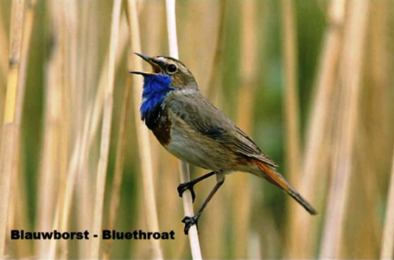 Blauwborst - Bluethroat