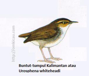 Buntut-tumpul Kalimantan atau Urosphena whiteheadi - Kecil, berekor pendek, alis dan pipi kuning kebo.