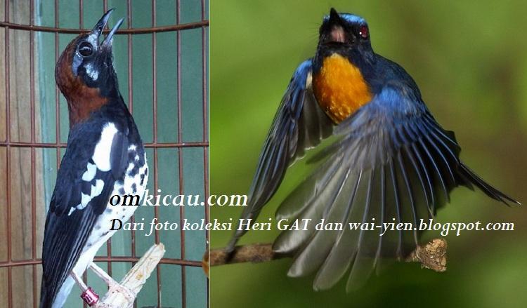Burung anis kembang dan tledekan