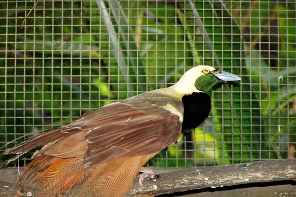 Burung cendrawasih Raggiana