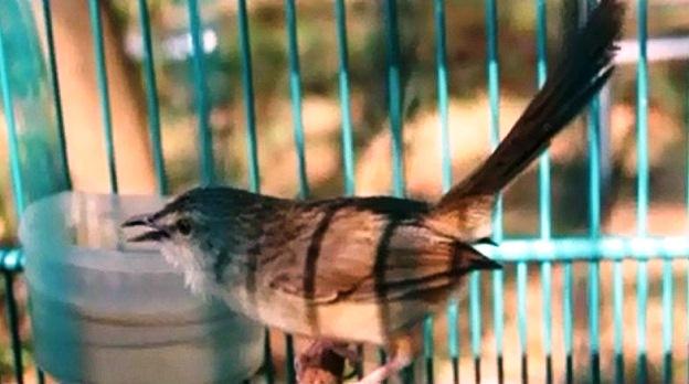 Burung ciblek gunung Imoet CPT-3