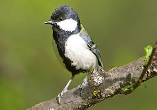 Burung gelatik wingko atau glatik wingko