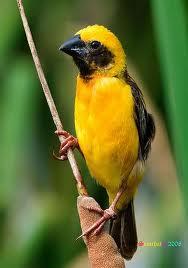 Suara burung kenari mp3