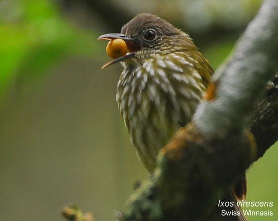 Burung siri-siri alias cucak rawis atau sunda bulbul atau ixos virescens