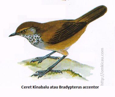 Ceret Kinabalu atau Bradypterus accentor - Coklat kemerahan gelap, tenggorokan berbintik putih, hitam dan abu-abu, alis rnerah bata.