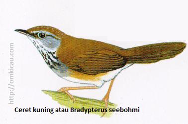 Ceret kuning atau Bradypterus seebohmi - Merah bata, muka dan alis keabu-abuan, tenggorokan putih bercoret hitam.