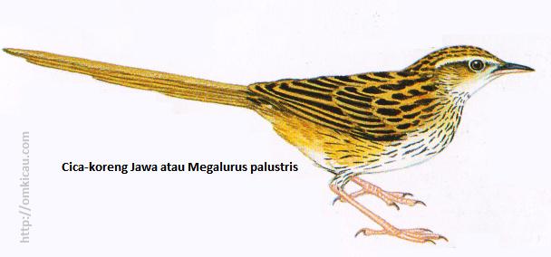 Cica-koreng Jawa atau Megalurus palustris - Berukuran besar, ekor runcing, alis panjang pucat, bercoret hitam penuh.