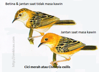 Cici merah atau Cisticola exilis - Tubuh atas bercoret jingga dan hitam. Jaman masa biak - kepala warna emas seluruhnya.