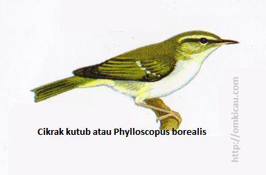 Cikrak kutub atau Phylloscopus borealis - Biasanya hanya ada satu garis tipis pada sayap, kadang-kadang dua, paruh lebih besar daripada Cikrak mahkota